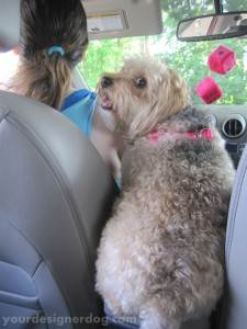dogs, designer dogs. yorkipoo, yorkie poo, car seat, center console