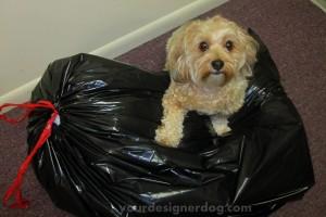 dogs, designer dogs, yorkipoo, yorkie poo, garbage