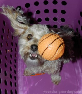 dogs, designer dogs, yorkipoo, yorkie poo, incoming, catch
