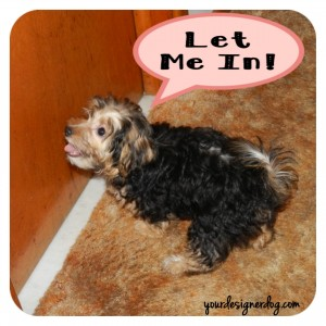 dogs, designer dogs, yorkipoo, yorkie poo, separation anxiety, puppy, clingy
