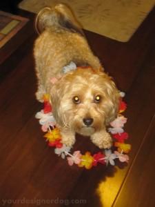 dogs, designer dogs, yorkipoo, yorkie poo, lei, luau, mischief