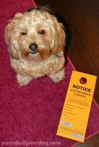 dogs, designer dogs, yorkipoo, yorkie poo, notice, animal control
