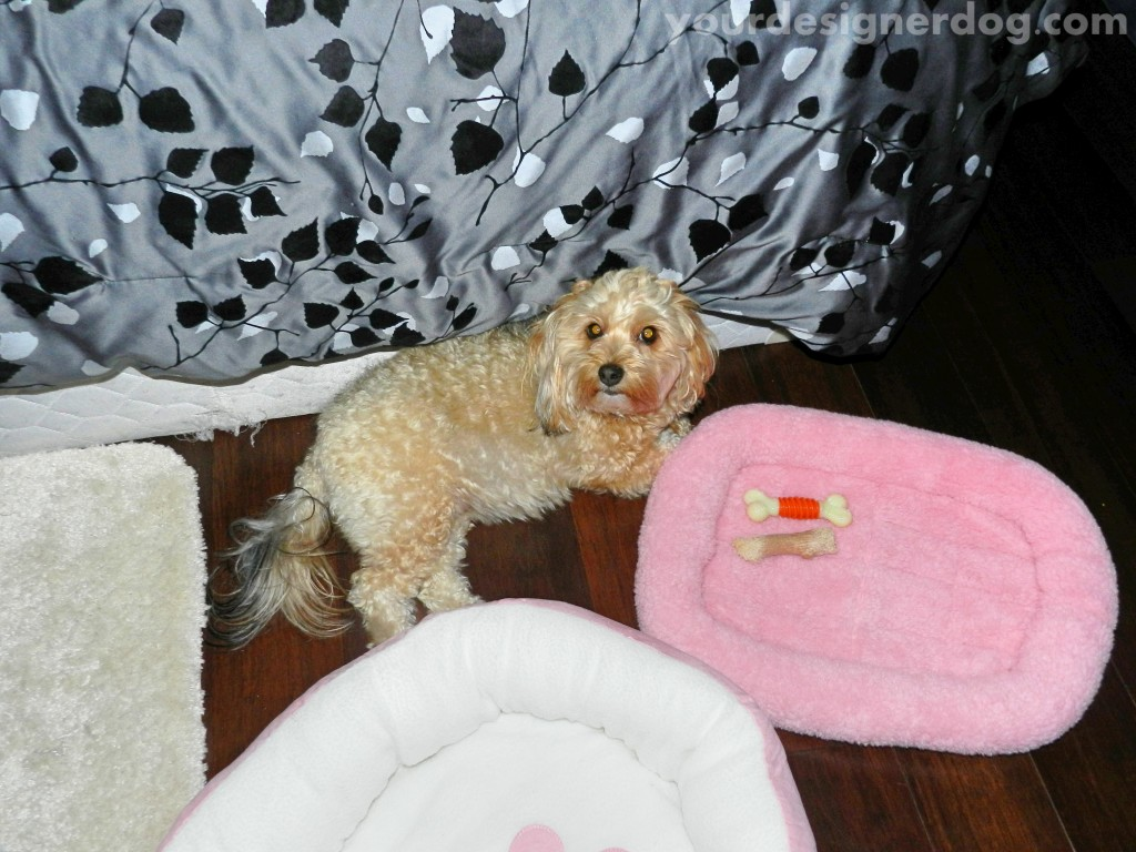 dogs, designer dogs, yorkipoo, yorkie poo, dog bed, uncomfortable