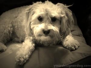 dogs, designer dogs, yorkipoo, yorkie poo, sepia photography