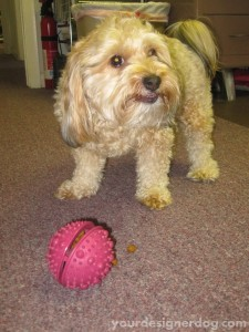 dogs, designer dogs, yorkipoo, yorkie poo, dogs at work, treat dispensing toy