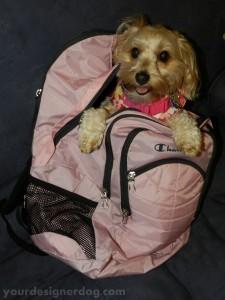 dogs, designer dogs, yorkipoo, yorkie poo, backpack, school