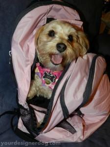 dogs, designer dogs. yorkipoo, yorkie poo, backpack, school