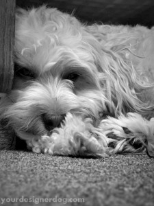 dogs, designer dogs, sleepy puppy, yorkipoo, yorkie poo, black and white photography, dogs at work