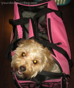 dogs, designer dogs, yorkipoo, yorkie poo, luggage, pet carrier, dog smiling
