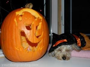 dogs, designer dogs, yorkipoo, yorkie poo, halloween, pumpkin, jack o lantern, dog costume