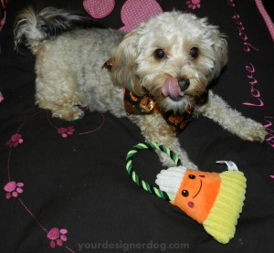 dogs, designer dogs, yorkipoo, yorkie poo, halloween, candy, candy corn
