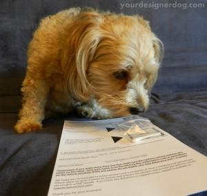 dogs, designer dogs, yorkipoo, yorkie poo, allergies, allergy testing