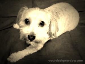 dogs, designer dogs, yorkipoo, yorkie poo, haircut, groomer