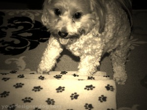 dogs, designer dogs, yorkipoo, yorkie poo, stairs, sepia photography