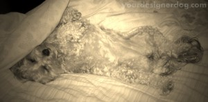 dogs, designer dogs, yorkipoo, yorkie poo, sepia photography, upside down, sleepy puppy