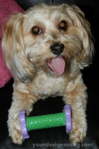 dogs, designer dogs, yorkipoo, yorkie poo, dog toy, barbell, weightlifting