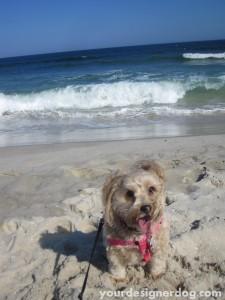 dogs, designer dogs, yorkipoo, yorkie poo, ocean, dog beach