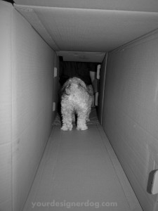 dogs, designer dogs. yorkipoo, yorkie poo, box, tunnel, black and white photography