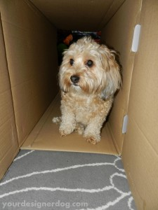 dogs, designer dogs, yorkipoo, yorkie poo, box, tunnel