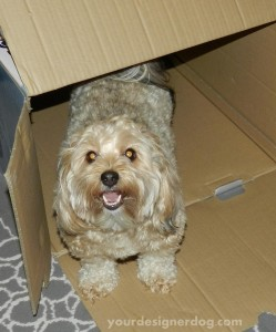 dogs, designer dogs, yorkipoo, yorkie poo, box, tunnel, dog smiling