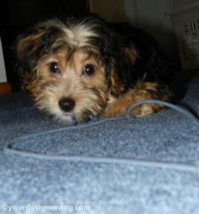 dogs, designer dogs, yorkipoo, yorkie poo, puppy, yarn