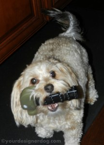 dogs, designer dogs, yorkipoo, yorkie poo, hammer, tools, home improvement