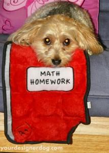 dogs, designer dogs, yorkipoo, yorkie poo, homework