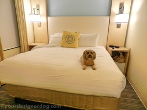 dogs, designer dogs, yorkipoo, yorkie poo, hotel, dog friendly