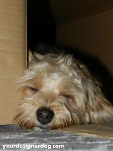 dogs, designer dogs, yorkipoo, yorkie poo, nap, sleepy, box