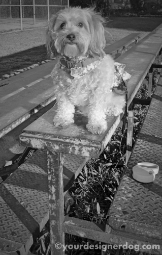 dogs, designer dogs, yorkipoo, yorkie poo, black and white photography, bleachers