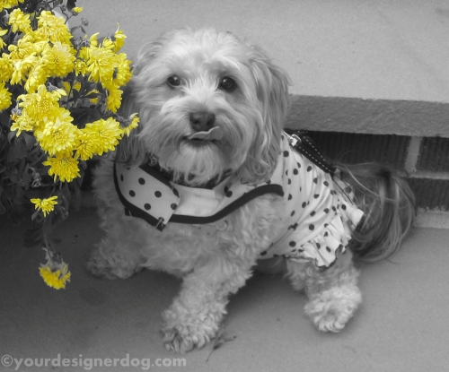 dogs, designer dogs, yorkipoo, yorkie poo, black and white photography, mums, dogs with flowers, tongue out