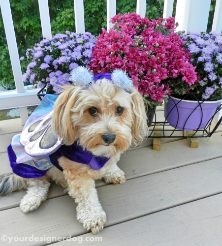 dogs, designer dogs, butterfly, dog costume, fall, dogs with flowers