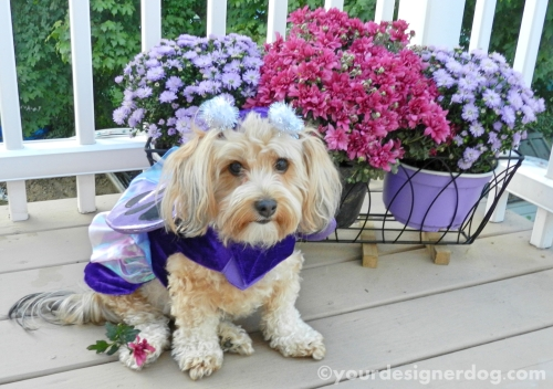 dogs, designer dogs, yorkipoo, yorkie poo, butterfly, dog costume, fall, dogs with flowers