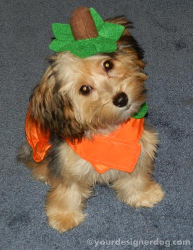 dogs, designer dogs, yorkipoo, yorkie poo, pumpkin, halloween, dog costume