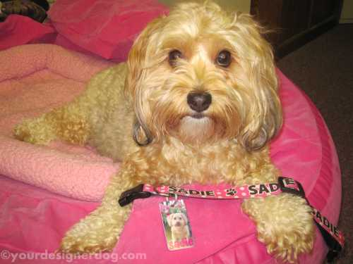 dogs, designer dogs, yorkipoo, yorkie poo, dog tags, pet tags, id tags