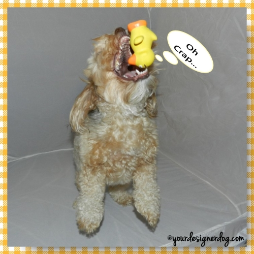 dogs, designer dogs, yorkipoo, yorkie poo, rubber ducky, catch