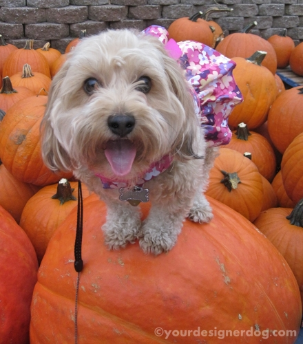 dogs, designer dogs, yorkipoo, yorkie poo, perching, pumpkin, fall