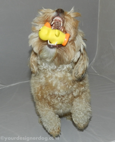 dogs, designer dogs, yorkipoo, yorkie poo, rubber ducky, dog toy, catch