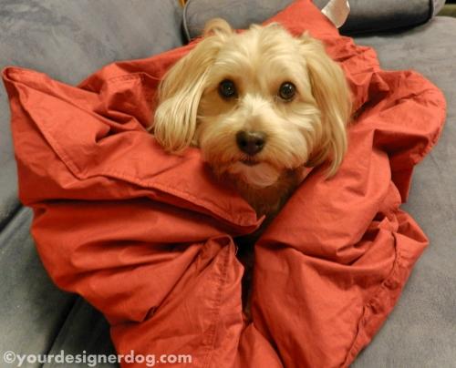 dogs, designer dogs, yorkipoo, yorkie poo, blanket, comforter