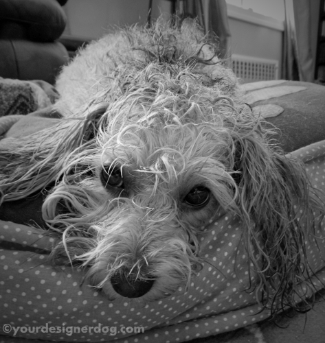 dogs, designer dogs, yorkipoo, yorkie poo, bath, black and white photography, bath, bad hairday