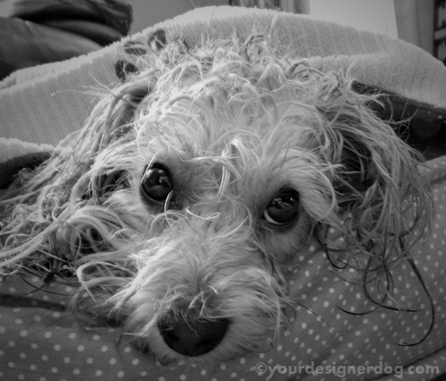 dogs, designer dogs, yorkipoo, yorkie poo, black and white photography, bath, bad hairday