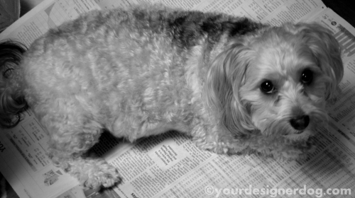 dogs, designer dogs, yorkipoo, yorkie poo, black and white photography, newspaper