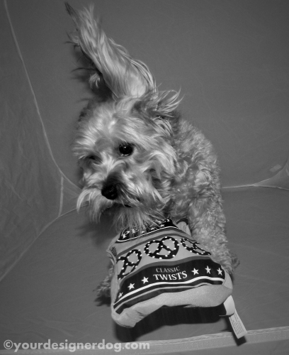 dogs, designer dogs, yorkipoo, yorkie poo, catch, pretzels, black and white photography