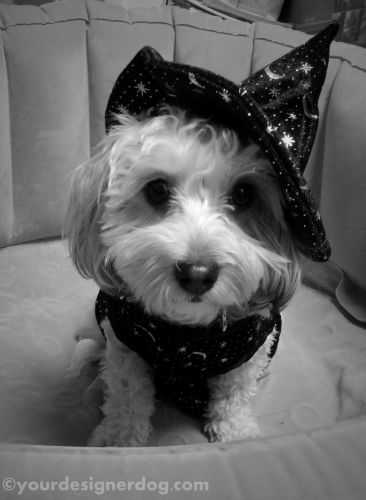 dogs, designer dogs, yorkipoo, yorkie poo, witch, halloween, dog costume