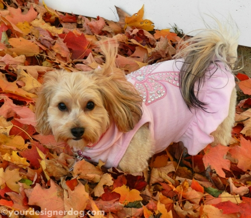 dogs, designer dogs, yorkipoo, yorkie poo, leaves, fall