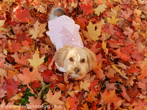 dogs, designer dogs, yorkipoo, yorkie poo, fall, leaves