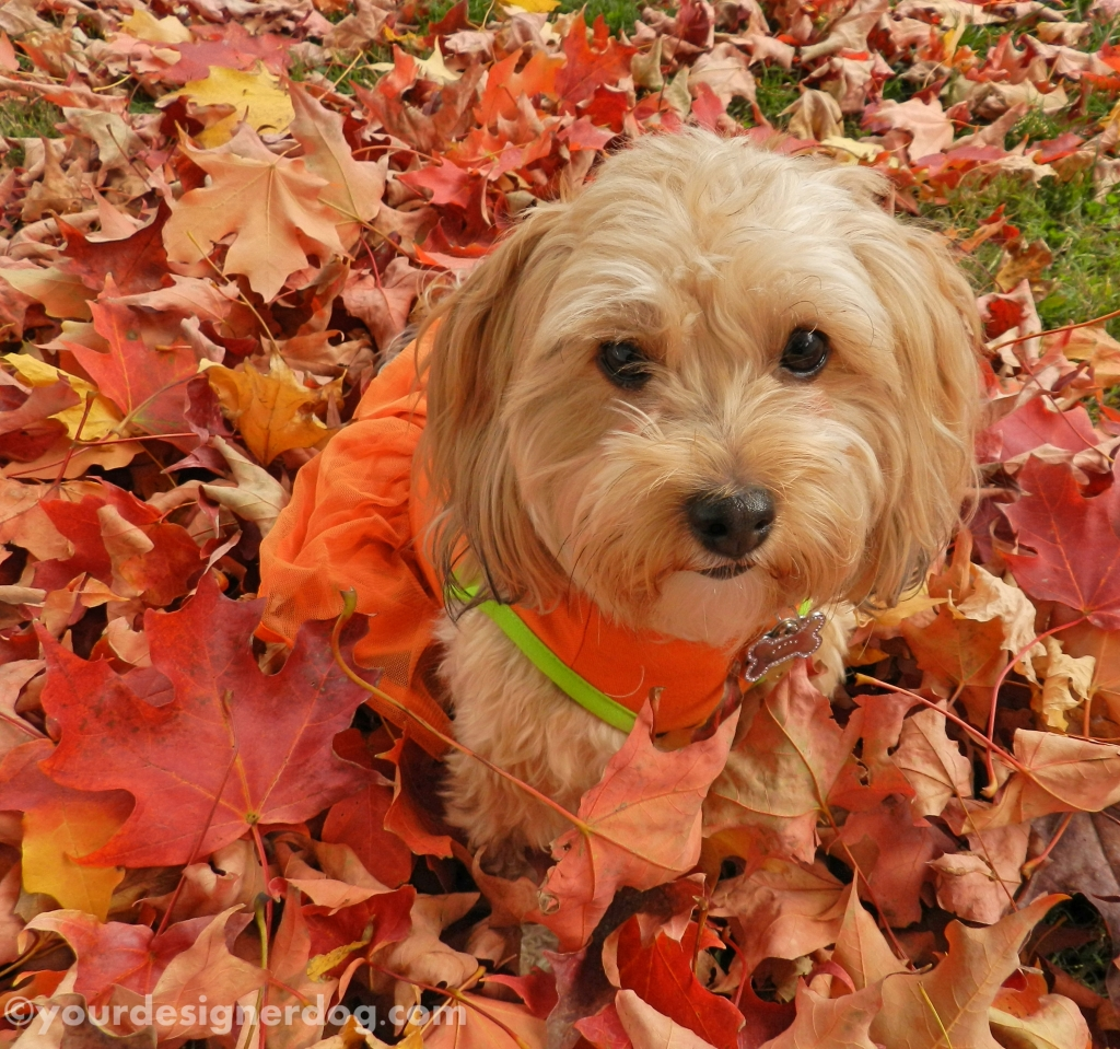 dogs, designer dogs, yorkipoo, yorkie poo, leaves, autumn, fall