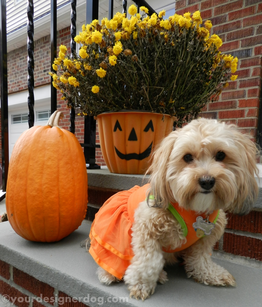 dogs, designer dogs, yorkipoo, yorkie poo, pumpkins, fall, halloween, mums, dogs with flowers