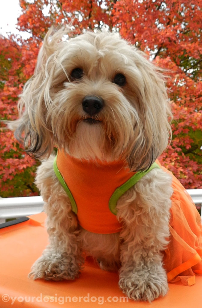 dogs, designer dogs, orange, yorkipoo, yorkie poo, leaves, autumn, fall