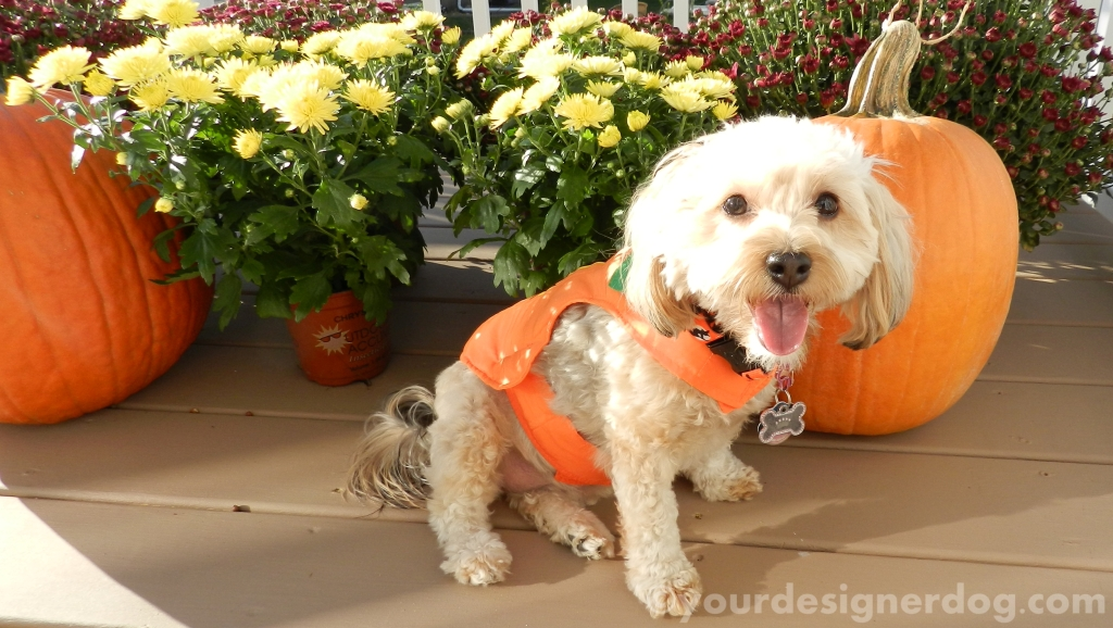 dogs, designer dogs, yorkipoo, yorkie poo, pumpkins, fall, halloween, mums, dogs with flowers, dogs smiling